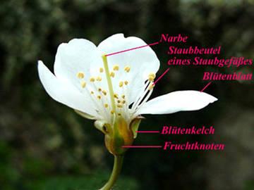 Von der Blüte zur Frucht