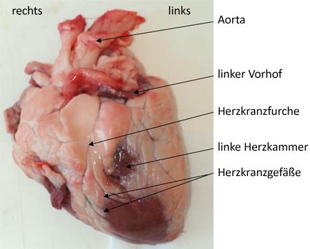 Sezieren des Herzens