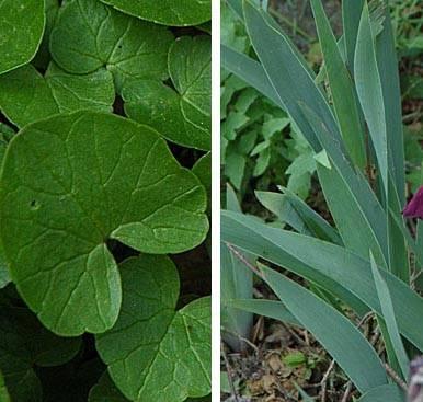 foto bltter einer zweikeimblttrigen und einer einkeimblttrigen - Einkeimblattrige Pflanzen Beispiele