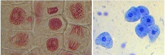 Zwiebelzellen und leberzellen unterm lichtmikroskop